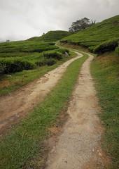 tea plantation (4) (SM Tham) Tags: asia southeastasia malaysia pahang cameronhighlands habu boh tea plantation estate path track landscape tree grass
