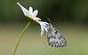 Dambordje - Marbled White (Wim Boon (wimzilver)) Tags: wimboon macro macrofotografie duitsland germany eifel canon100mmf28lismacro canoneos5dmarkiii dambordje marbledwhite vlinder butterfly