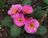 Primulas (2) (Wolfgang Bazer) Tags: botanischer garten wien blossoms blüten flowers blumen vienna österreich austria primulas primeln