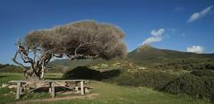 Tavola con vista - Table with a view (Tati@) Tags: sp105 portixuddu capopecora ginepro natura albero vento paesaggio landscape tree juniper wind