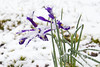 Swamp Irises in Snow (brucetopher) Tags: snow spring snowstorm dusting accumulation snowfall snowing flower iris swampiris purple garden bend