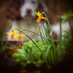 A Dreary and Damp Easter (Missy Jussy) Tags: bokeh rupert rupertbear pet dog springerspaniel spaniel englishspringer vignette plants flowers daffodil raindrop dof depthoffield easter outdoor outside mygarden garden springtime seasonal 70200mm ef70200mmf4lusm ef70200mm canon70200mm canon canon5dmarkll canon5d canoneos5dmarkii