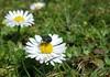 """Gänseblümchen (Bellis perennis) (warata) Tags: 2018 deutschland germany süddeutschland southerngermany schwaben swabia oberschwaben upperswabia schwäbischesoberland """"badenwürttemberg"""" badenwürttemberg """"samsung galaxy note 4"""" gänseblümchen """"bellis perennis"""" blume pflanze wildpflanze arzneipflanze flower"""