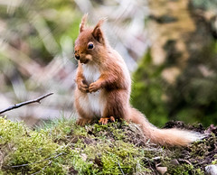 Red Squirrel (StickyToffeeQueen) Tags: redsquirrel woodland nature spring