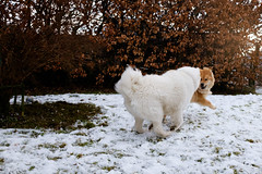 Play (Kevin Andreas Smilden) Tags: norway fujifilm x x100t apsc dog samoyed eurasier dogs play playing