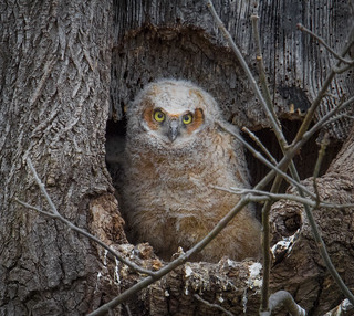 Portrait of a Great Horned Owlet