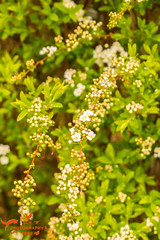 Spring Bridal Wreath Spirea Flowers (SLHPhotography1990) Tags: flowers garden uk freshwater isleofwight leaf leaves spring colour vibrant bridal wreath white spirea