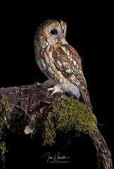 Tawny Owl (Ian howells wildlife photography) Tags: ianhowells ianhowellswildlifephotography wildlife wildlifephotography wildbird nature naturephotography nationalgeographic unitedkingdom wales tawnyowl tawny owl