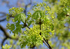 Ahorn / maple (acer) (HEN-Magonza) Tags: ahorn maple acer frühling springtime flora baum tree