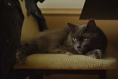 Caturday (It's Everyday) (flashfix) Tags: april142018 2018inphotos ottawa ontario canada nikond7100 28mm nikon flashfix flashfixphotography portrait cat feline whiskers ears kittynose fyero nebelung ragamuffin ragdoll fluffy graycat chair