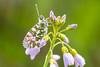 Anthocharis cardamines - nog een oranjetipje  - Orange Tip Butterfly (de_frakke) Tags: vlinder papillon mariposa schmetterlinganthocharis cardamines oranjetipje orangetipbutterfly
