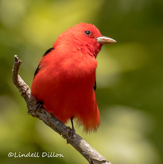 Scarlet Tanager (Lindell Dillon) Tags: scarlettanager neotropical bird birding migration springmigration nature alabama gulfofmexico bonsecourbay