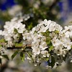 White cherry blossom - blue sky thumbnail