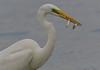 Fishing (MoGoutz) Tags: white egret gallikos river kalochori