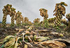 Remainings from last year (Petra Ries Images) Tags: samyang12mmf22 brusselssprouts agriculture farming field vegetables