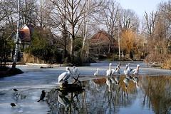 Wasservögel (ingrid eulenfan) Tags: leipzig zoo teich wasser vogel bird pelikan kormoran wasservögel sonyalpha6000 sonye30mm gefroren eis frost reiher