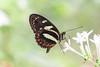 Elzunia pavonii (fabriciodo2) Tags: elzuniapavonii papillon butterfly mariposa macro nature insect fleurs