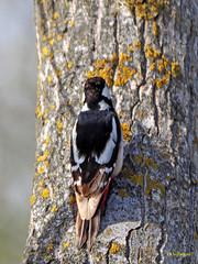 Pico picapinos (Dendrocopos major)  (12) (eb3alfmiguel) Tags: aves pájaros carpintero piciformes picidae pico picapinos dendrocopos major pájaro árbol hierba animal bosque madera