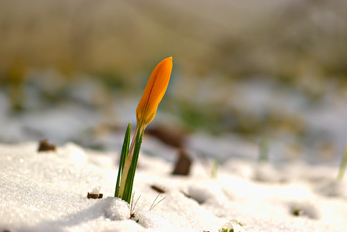 Orange Crocus in Winter Sun