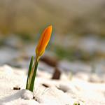 Orange Crocus in Winter Sun thumbnail