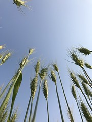Sandesh (Shashi Shah) Tags: wheat field backgrounds fullframe agriculture cerealplant crop day farm growth harvesting healthyeating india organicfarm photography spiked wholewheat bihar sandesh bhojpur free
