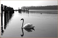 Mein lieber Schwan ! (der bischheimer) Tags: schwan vogel ostsee wasser meer derbischheimer baltic salzhaff canon