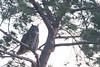 Pine Tree Owl-4817 (alankrakauer) Tags: owl urbanwildlife urbanbirds urbannature dusk nocturnal