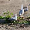 E#seagullmpiezan a #criar #seagull#seagulls #gulls #charadriiformes #gabbiano #aves #birds #pajaros #birdsofinstagram #puertodebarcelona #portdebarcelona #laridos #larus #laridae #nest #huevos #eggs #crias #gaviotas #nido (Carolina_BCN) Tags: eseagull seagulls charadriiformes gabbiano crias gaviotas criar gulls aves birds pajaros birdsofinstagram puertodebarcelona portdebarcelona laridos larus laridae nest huevos eggs nido