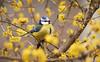 Blu tit on cornel tree (Lt_Dan) Tags: bluetit cinciarella bird birdphotogrphy birdwatching perch songbirds alpago belluno veneto italia italy canon600d canon400f56lusm 7dwf