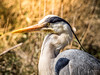 Héron cendré (Olympus Passion eric leroy) Tags: vert olympus omd em1 mkii zuiko 300f4 300 f4 300mm tc 14 mc14 camargue 600mm 600f4 oiseaux birds provence paca