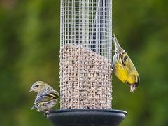 Erlenzeisig / Siskin (oonaolivia) Tags: erlenzeisig siskin vögel bird birdwatching singvögel