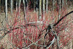 early spring red osier dogwood (kerwilliger) Tags: arboretum madison wisconsin redosier dogwood cornus stolonifer wetland