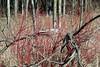 early spring red osier dogwood (kerwilliger) Tags: arboretum madison wisconsin redosier dogwood cornus stolonifer wetland