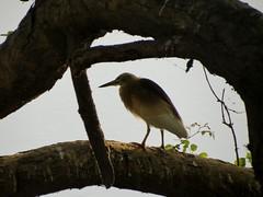 Pond Heron (Siva301in) Tags: bird birds canon canonpowershotsx40hs canonpowershot siva301in sx40hs sx40 powershotsx40hs powershot powershotsx40
