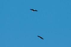 Bald Eagles (sjdavies1969) Tags: birds baldeagle vertebrates animals accipitridae animalia eaglesandkites haliaeetusleucocephalus hawks