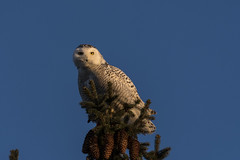 Down the Road (Rick 2025) Tags: birds raptors owls snowyowls female kingston