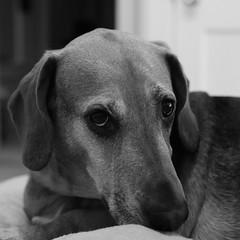 Riley Again! (andymudrak) Tags: dog photography 365 squareformat bw beagle bassethound