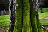 Evergreen Washelli Memorial Park_Tree_Nature_Trunk (Zero State Reflex) Tags: evergreen cemetery trees trunk moss washington seattle pnw photography canon 5dmark3