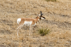 Pronghorn buck using a yucca plant as a scratching post