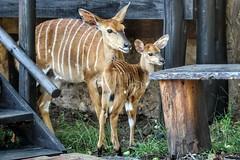 Nyalas... (D.Purkhart) Tags: impala bongani bonganimountainlodge mpumalanga mtethomusha southafrica suedafrika afrika antilopen