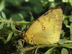 Colias hyale - Pale clouded yellow - Желтушка луговая (Cossus) Tags: 2016 coliadinae colias pieridae алпатьево белянка желтушка
