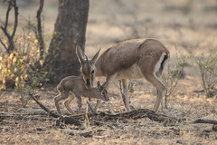 Mother and Baby Chinkara | Gazella bennettii | Indian Gazelle (Paul B Jones) Tags: india chinkara gazellabennettii indiangazelle ranthambhorenationalpark rajasthan nature wildlife canon eos1dxmarkii ef500mmf4lisiiusm mother baby child nuzzle cute asia asian tourist tourism travel ecotourism indian indiya inde indien indië safari
