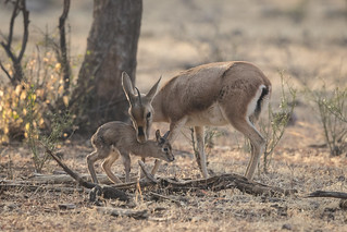 Mother and Baby Chinkara | Gazella bennettii | Indian Gazelle