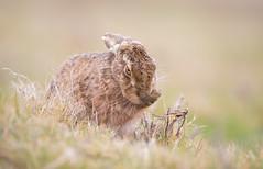 Brown Hare Eye to Eye (www.andystuthridgenatureimages.co.uk) Tags: hare brown sitting preening looking eye field grass suffolk mammal
