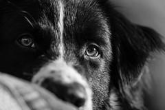 Rian (unbunt.me) Tags: lrcc aussie canon fujifilm australianshepherd fujixpro2 blackwhite bw dog fuji blackandwhite