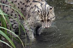 fishing cat Blijdorp BB2A8396 (j.a.kok) Tags: kat cat fishingcat vissendekat feline animal asia azie mammal zoogdier dier predator blijdorp