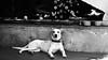 Frida (André Felipe Carvalho) Tags: cachorro preto branco pirenópolis littledoglaughednoiret