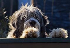 I C U (Robyn Hooz) Tags: cane dog watcher guard guardiano defender woof bark bau fur pelliccia paws zampe padova