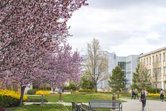 Spring Color on Campus (aaronrhawkins) Tags: college university spring springtime colorful byu brighamyounguniversity mttimpanogos provo utah students classes bloom blossom aaronhawkins