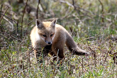 Red Fox Kit at Bombay Hook NWR...6O3A8366A (dklaughman) Tags: redfox kit bombayhooknwr delaware